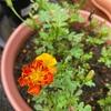 開花が続く🌸&遅まき栽培も✨