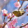 河津桜にメジロ♪ 今年も春の妖精,サクラジローがやってきました!