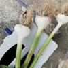 ニンニク収穫 ワイルドストロベリーも