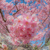 【写真一発!】河津桜のブーケ!