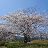 市内の桜を愛でに行く ~安倍川公園の桜から~