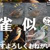 1208【スズメに似た小鳥達】タヒバリ、ホオジロ、アオジ。カイツブリ飛翔潜水捕食。小さな猛禽モズ。バン親子。ねこです。野生化インコ、鶴見川 SCP 040 JP #身近な生き物語