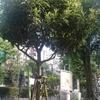 渋谷の街中でビワの木発見