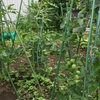 🍅初の家庭菜園🍉