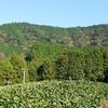 紅葉が進む木々と茶畑