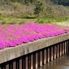 飯田地区河川敷の芝桜と島の現状