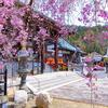 京都・山科 - 本圀寺の紅枝垂れ