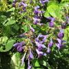 「まつこの庭」の秋の草花(3)