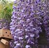 札幌市 北区に花咲く百合が原公園の大きな藤棚