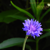 矢車菊 コーンフラワー Centaurea cyanus
