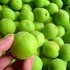 梅肉エキスは善玉菌を増やし、便秘や下痢を解消