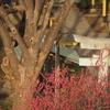 410  梅の咲く神社