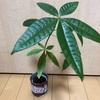 観葉植物育ててます