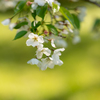 またまだ楽しめる桜:森林研