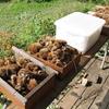 ニホンミツバチの採蜜(垂れ蜜と加熱蜜)