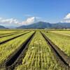 麦の圃場に溝切りをはじめる。