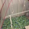 フクロモモンガ蚊帳で遊ぶ