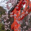 京都の桜を巡る旅2009・名所・穴場〈平野神社・水火天満宮・京都御所・仁和寺〉2009年3月28日