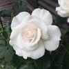 マーガレット メリルはフンワリ白バラ