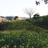 丘一面に咲く菜の花