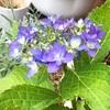 紫陽花が咲き始めました(^^)