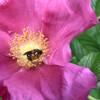バラに来た蜜蜂