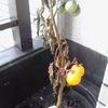 プチトマトの栽培を終了とします