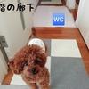 Rasukuのトイレ事情(仔犬から始めたトイレトレーニング)