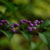コムラサキ:小紫 小式部 実むらさき