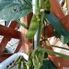 家庭菜園 枝豆の栽培 2019 庭やベランダで収穫 取れたてを食べるのは最高です