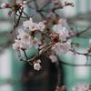 桜のバックは「旧陸軍金沢偕行社」