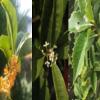【秋の香木】キンモクセイ、ギンモクセイ、ヒイラギモクセイの違いは?~我が家の木犀の四季の移ろいと秋の開花