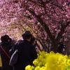 三浦海岸桜まつり2018