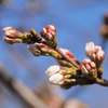 ソメイヨシノは一輪も咲いてませんでした。