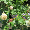 小さな庭のバラ 2018  Ⅲ