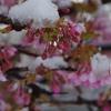 雪見桜(後編)
