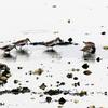 干潟のハマシギ