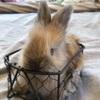 イングリッシュアンゴラの子ウサギ 生後1ヶ月になりました❤︎