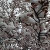 春の日の雪
