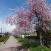 桜満開福島旅