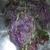 初めての梅干し:赤紫蘇を漬けました!