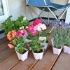 花壇用にラベンダーとゼラニウムを購入してきました
