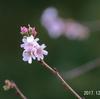 十月桜にメジロ