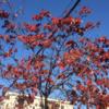 ハナミズキの紅葉!
