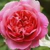 庭仕事にあくせく・・・バラのお世話
