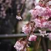 【おすすめ】横浜市名木古木に選ばれている、宝寿院のしだれ桜が最高にきれいだった。