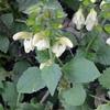 キバナアキギリ だけど黄花でなく白花