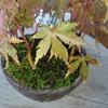 モミジのモヤシの鉢にも苔