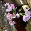 ★啓翁桜とソムリエ川柳 3/19★