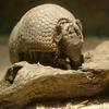 マタコミツオビアルマジロ Tolypeutes matacus